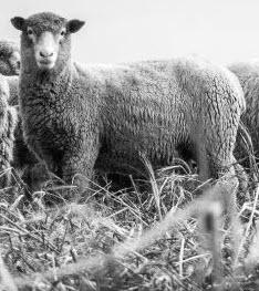 The sheep I call Bob